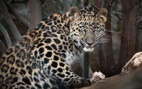 Картинка взгляд, Амурский леопард, большой кот, зоопарк Сан-Диего