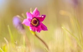 Картинка макро, весна, анемон