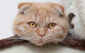 Обои взгляд, мордочка, кот, шотландский вислоухий