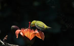 Картинка цветы, тропики, ветка, птичка, белоглазка, былый глаз, хлопковое дерево