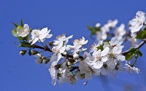 Картинка макро, ветка, весна, цветение, цветки, слива