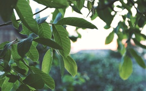Картинка зелень, небо, листья, макро, закат, дерево, green, widescreen, вечер, wallpaper, nature, зеленый фон, macro, fon, …
