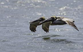 Обои вода, птицы, пара, полёт, пеликаны, американский бурый пеликан