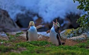 Картинка птица, Новая Зеландия, желтоглазый пингвин, Моераки