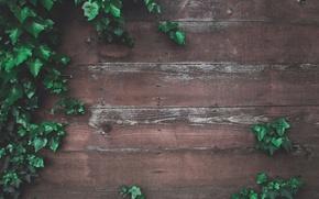 Картинка зелень, листья, стена, дерево, доски, забор, древесина, плющ