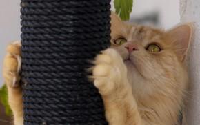 Картинка кот, взгляд, лапки, рыжий кот