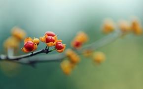 Картинка макро, цветы, ягоды, ветка