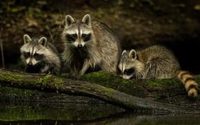 Картинка природа, семья, еноты
