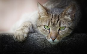 Картинка кот, взгляд, мордочка, лапка