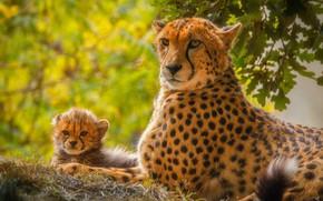 Картинка хищник, малыш, гепард, мама