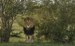 Картинка хищник, лев, animal
