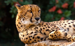 Обои гепард, кошки, дикие кошки, морда, фон, дикая природа, лежит, взгляд