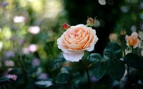 Картинка роза, красавица, кремовая