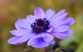Картинка цветок, фиолетовый, макро, азиатский лютик