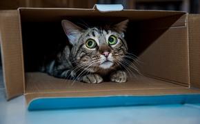 Картинка кошка, кот, коробка, коте