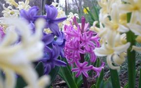 Картинка spring, flovers, Hyacínthus