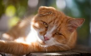 Картинка кошка, кот, взгляд, морда, свет, природа, поза, фон, доски, портрет, рыжий, лежит, ухо, боке