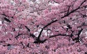 Картинка ветки, природа, вишня, дерево, розовый, весна, сад