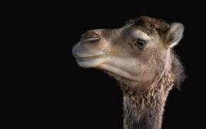 Картинка природа, фон, верблюд