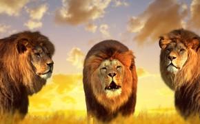 Обои природа, короли, львы