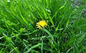Картинка зелень, трава, одуванчик, весна