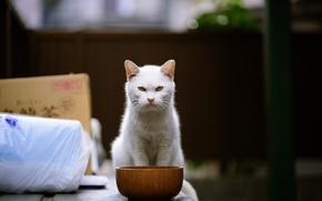 Обои кот, злюка, взгляд, миска