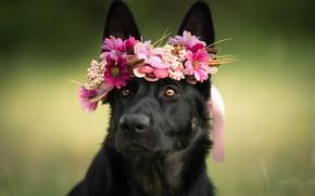 Картинка взгляд, морда, цветы, собака, венок, овчарка