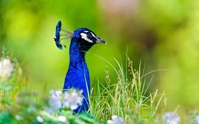 Картинка природа, птица, павлин, травка