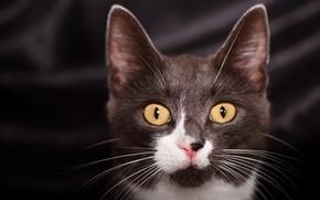 Обои кот, глаза, усы, взгляд, котейка