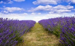 Картинка поле, цветы, лаванда, плантация