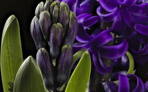 Обои фиолетовый, гиацинт, макро