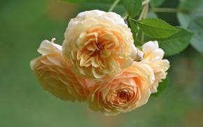 Картинка макро, розы, ветка, жёлтые розы