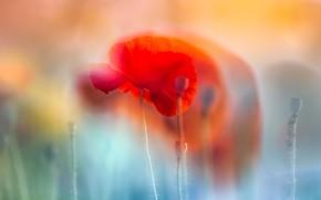 Картинка цветок, природа, мак