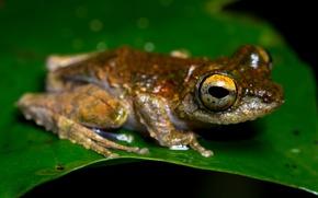 Картинка животные, макро, лист, зеленый, листок, лягушка, рыжая, черный фон, земноводные, амфибии, желтоглазая