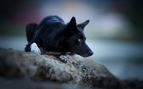 Картинка взгляд, камень, собака, боке, Бордер-колли