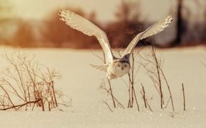 Картинка зима, сова, птица, крылья