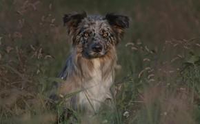 Картинка трава, взгляд, собака, Бордер-колли