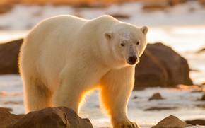 Картинка взгляд, медведь, Полярный медведь, Белый медведь