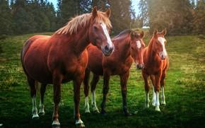 Обои кони, лошади, трио