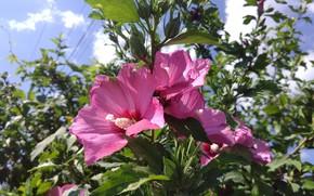 Картинка лето, розовый, куст, mamala ©