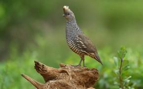 Картинка птица, клюв, хвост, чешуйчатый перепел