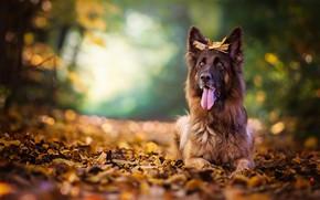 Обои собака, боке, осень, язык, овчарка, листья