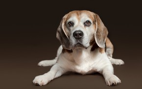 Картинка взгляд, фон, портрет, собака, щенок, Бигль
