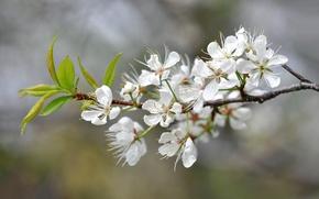Картинка цветы, природа, весна, лепестки, сад, соцветие