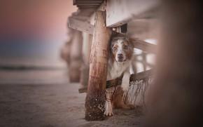Картинка песок, взгляд, боке, Австралийская овчарка, Аусси