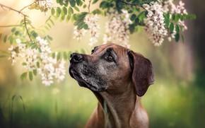 Картинка собака, портрет, цветки, акация, Родезийский риджбек, морда, боке, ветки