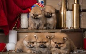 Картинка щенки, пушистые, малыши, шпиц