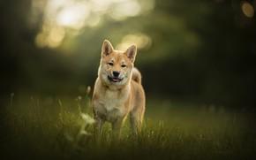Картинка трава, собака, Yamato