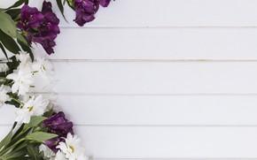 Картинка цветы, фон, Хризантемы, Альстромерия