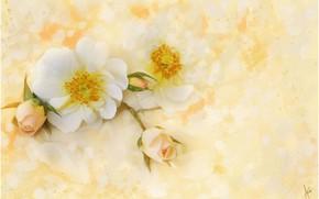 Картинка цветы, шиповник, жёлтый фон